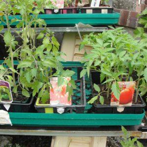 Plants maraichers