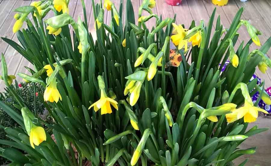 Jonquille_Narcissus_du_jardin_du_vievre_a_saint_georges_du_vievre